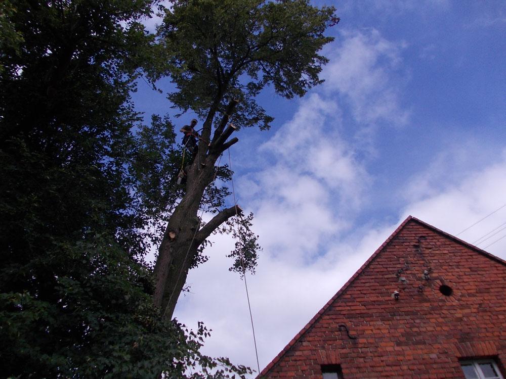 Przycinanie gałęzi wSycowie
